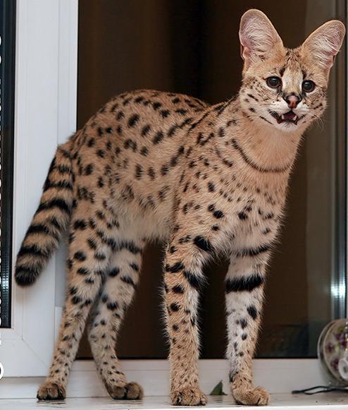 кошки редкой породы фото с описанием